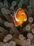 Ocellaris clownfish, Amphiprion ocellaris. Bangka, Indonesia. Ocellaris clownfish or common clownfish, Amphiprion ocellaris, with parasitic isopod Cymothoa royalty free stock photography