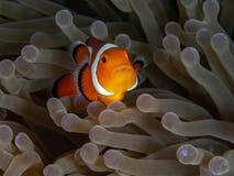Ocellaris clownfish, Amphiprion ocellaris. Bangka, Indonesia. Ocellaris clownfish or common clownfish, Amphiprion ocellaris, in magnificent sea anemone royalty free stock photos