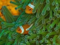 Ocellaris clownfish, Amphiprion ocellaris. Bangka, Indonesia. Ocellaris clownfish or common clownfish, Amphiprion ocellaris, in magnificent sea anemone stock image