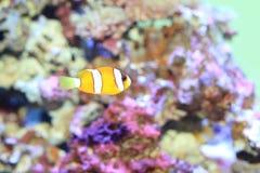 Ocellaris clownfish Royalty Free Stock Photos