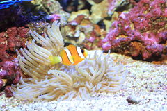 Ocellaris clownfish Stock Photos