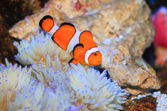 Ocellaris clownfish Royalty Free Stock Photography