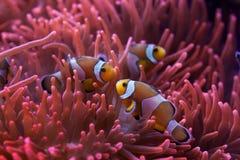 Free Ocellaris Clownfish (Amphiprion Ocellaris). Stock Photo - 70081710