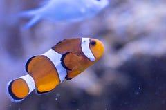 Ocellaris Clownfish Amphiprion Ocellaris Στοκ φωτογραφία με δικαίωμα ελεύθερης χρήσης
