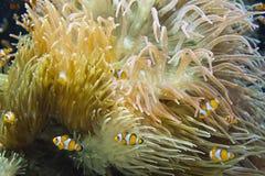 Ocellaris Clownfish Amphiprion Ocellaris Στοκ Φωτογραφία