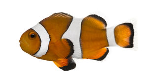 Ocellaris clownfish, Amphiprion ocellaris, isolated Royalty Free Stock Images