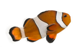 Ocellaris clownfish, Amphiprion ocellaris, isolated Royalty Free Stock Photo