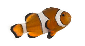Ocellaris clownfish, Amphiprion ocellaris, isolated Stock Photography