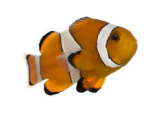 Ocellaris clownfish, Amphiprion ocellaris, isolated. On white royalty free stock photography