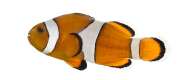 Ocellaris clownfish, Amphiprion ocellaris, isolated Stock Photos