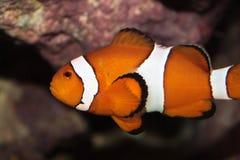 Ocellaris clownfish (Amphiprion ocellaris) marine fish Stock Image