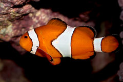 Ocellaris clownfish (Amphiprion ocellaris) marine fish Royalty Free Stock Images