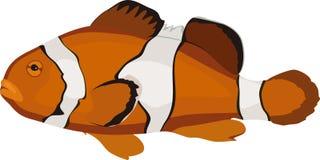 Ocellaris clownfish (Amphiprion ocellaris) marine tropical fish Stock Image