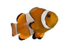 Ocellaris clownfish, Amphiprion ocellaris, odizolowywający Fotografia Royalty Free