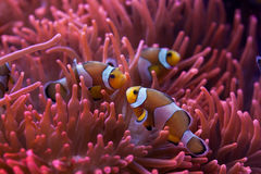 Ocellaris clownfish (Amphiprion ocellaris). Stock Photo