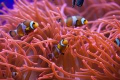 Ocellaris clownfish & x28 Amphiprion ocellaris& x29  Στοκ φωτογραφία με δικαίωμα ελεύθερης χρήσης