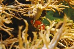Ocellaris clownfish Amphiprion ocellaris, także znać jako błazenu anemon w ich siedlisku fotografia royalty free