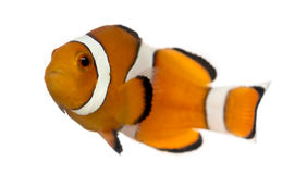 Ocellaris clownfish, Amphiprionocellaris som isoleras Royaltyfria Bilder