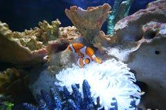Ocellaris clownfish. Beautiful fish in the sea Stock Photos