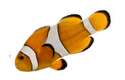 Ocellaris clownfish bubbling, Amphiprion ocellaris, isolated. On white stock photos