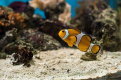 Ocellaris Clownfish, Captive-Bred Amphiprion ocellaris . Saltw. The Ocellaris Clownfish Amphiprion ocellaris is the most recognized little orange saltwater fish Stock Image