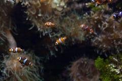 Ocellaris clownfish clown anemonefish clownfish false percula clownfish Amphiprion ocellaris animal Underwater Photo. Close up small fish stock photo