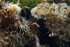 Ocellaris clownfish clown anemonefish clownfish false percula clownfish Amphiprion ocellaris animal Underwater Photo close up smal. L fish stock photography