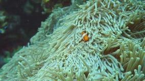 Ocellaris clownfish, Common clownfish or False percula clownfish in sea anemone at the north of Ishiga. Okinawa,Japan-June 1, 2019: Ocellaris clownfish, Common stock video footage