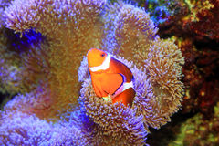 Ocellaris clownfish Stock Images