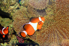 Ocellaris clownfish Royalty Free Stock Photography