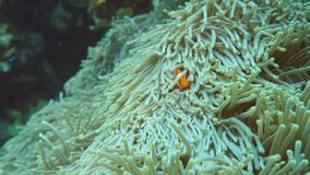 Ocellaris clownfish, Gemeenschappelijke clownfish of Valse percula clownfish in zeeanemoon bij het noorden van Ishiga stock videobeelden