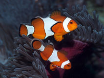 Ocellaris Clownfish. Image was taken in Raja Ampat, West Papua, Indonesia Stock Photo