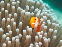 Ocellaris clownfish - Nemo Στοκ Εικόνες