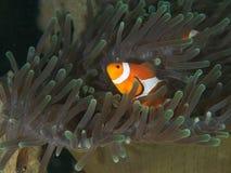 Ocellaris clownfish - Nemo Στοκ Φωτογραφίες