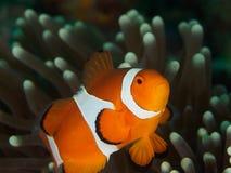 Ocellaris clownfish - Nemo Στοκ εικόνες με δικαίωμα ελεύθερης χρήσης