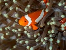 Ocellaris clownfish - Nemo Στοκ φωτογραφία με δικαίωμα ελεύθερης χρήσης