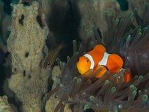 Ocellaris clownfish - Nemo Στοκ φωτογραφίες με δικαίωμα ελεύθερης χρήσης