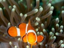 Ocellaris clownfish - Nemo Στοκ Φωτογραφία