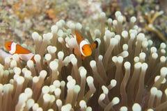 Ocellaris Clownfish van Amphiprion Royalty-vrije Stock Afbeeldingen
