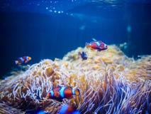 Ocellaris Clownfishes с предпосылкой коралла Стоковые Фотографии RF