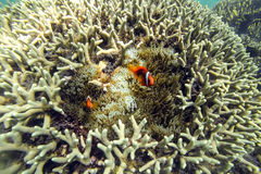 Ocellaris Clownfishes Stock Photo