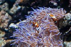Ocellaris Clownfishes med havsanemonen fotografering för bildbyråer