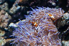 Ocellaris Clownfishes with sea anemone stock image