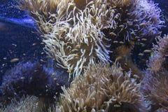 Ocellaris die clownfishes in de prachtige zeeanemoon zwemmen Royalty-vrije Stock Fotografie