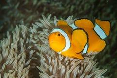 Ocellaris för clownanemonfishAmphiprion simmar i Gorontalo, Indonesien det undervattens- fotoet royaltyfria bilder