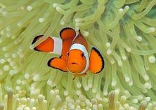 Ocellaris van Ocellaris clownfish Aphiprion of de valse clown anemonefish beschutten zich onder de giftige tentakels van een magn stock afbeelding