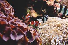 Ocellaris van Ocellarisclownfish Amphiprion royalty-vrije stock foto