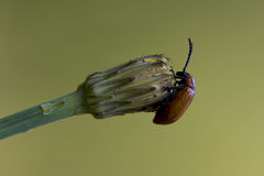 Ocellata coleoptera on a flower Royalty Free Stock Image