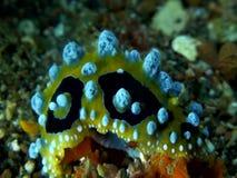 Ocellata Phyllidia γυμνοσαλιάγκων θάλασσας σημείων ματιών στο στενό άμμου lembeh απόθεμα βίντεο