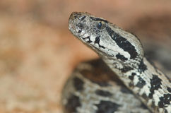 Ocellate mountain viper2 Royalty Free Stock Photography